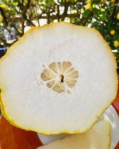 The #Amalfi's #Sun ☀️ #perfumed #citrus ... very #rare #varieties of #citrus ... PONZINO!!! So sweet the skin & with!!! Amazing with #lemon #icecream & #limoncello!!!! #amalfilemon #amalficoast #sustainable #agricolture #organicfood #organicfarm #whenlemongivesyoulife #Lemonmind #picoftheday #freshfruit #slowfood #fruits