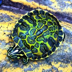 Florida red bellied turtle.