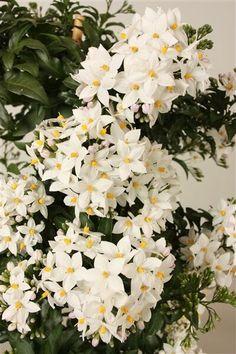 Dropbox - Green Gold Solanum Jasminoides bloem.jpg