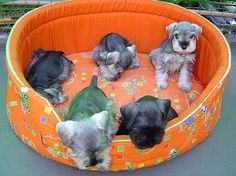 OMG. Baby schnauzers with hair cuts! Makes me miss when Princess had pups!!!