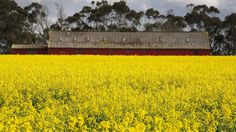 Canola flowers at Woolshed near Mortlake. Investors finding it hard to establish agribusiness in Australia