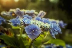 Hydrangea in Fading Light