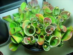 carnivorous plants | Heliamphora minor - Windowsill Grown  this is what my collection is missing!