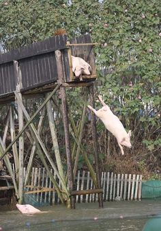 A pig farmer from central China's Hunan Province has caused a splash with his new method of bringing more tasty pork to the table: training his piggies to be diving masters.  Huang Demin has even made his rural home in Guanshan village, Ningxiang county an attraction, as curious visitors come to watch the hogs leap from the high board.  Huang said by diving each day, the pigs have grown up faster and healthier, and the muscular hogs are more delicious than their sedentary friends