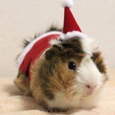 Guinea Pig Outfits! http://whatpetswant.com/guinea-pig-outfits/