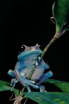 """Photographic Print: """"Leptopelis uluguruensis"""" Uluguru Forest Treefrog by Paul Starosta : Cute Reptiles, Reptiles And Amphibians, Mammals, Frosch Illustration, Animals And Pets, Funny Animals, Frog Tattoos, Frog Pictures, Frog And Toad"""