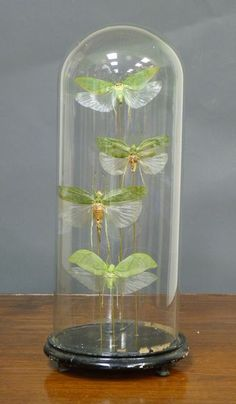 Locusts under glass cloche