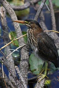 Grünreiher, Everglades