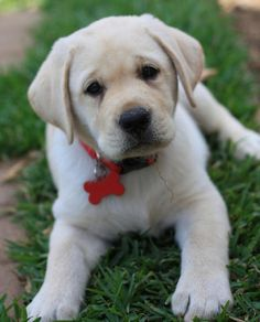 What a sweet Labrador pup!