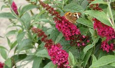 Miss Molly butterfly bush doesn't set seed, so they never stop blooming and don't need deadheading, and grows only 2-3 feet high and wide