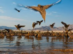 A covey of sandgrouse at a water hole in NamibRand Nature Reserve, Namibia. BelAfrique your personal travel planner - www.BelAfrique.com
