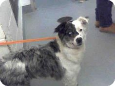 Albuquerque, NM - Australian Shepherd Mix. Meet OREO, a dog for adoption. http://www.adoptapet.com/pet/17956197-albuquerque-new-mexico-australian-shepherd-mix