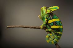 PHOTOGRAPH BY JOEL SARTORE, NATIONAL GEOGRAPHIC CREATIVE Amphibian and Reptile Pictures -- National Geographic Photo Ark
