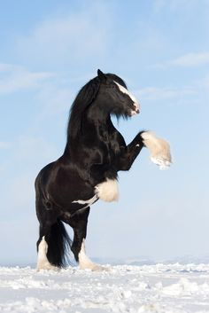 Shire Horse stallion Tom impresses with pure power and joy of life on this sunny winter day. - title Pure Power - by Sina Blanke on 500px