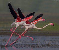 Greater Flamingo Perfect Synchronization