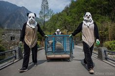 "Photo by @amivitale on assignment for @natgeo. Wolong Reserve keepers transport Hua Jiao (Delicate Beauty) for a health check before she finishes ""wild training."" The habitat also protects red pandas, pheasant, tufted deer, and other species that benefit from giant panda conservation.  Read the @natgeo story in the August issue and online through the link in my profile. Follow @amivitale for more adorable pandas!  @natgeo @natgeocreative @thephotosociety @instagram #wolong #sichuan #china…"