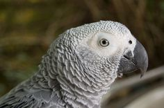 Diseases of African Grey Parrots Parrot Pet, Parrot Toys, Parrot Bird, Jaco, Budgies, Parrots, Parrot Image, Types Of Species, African Grey Parrot