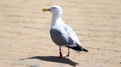 Bilderesultat for seagull dive