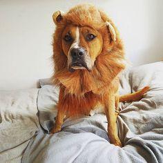 The lionregram from @pieswwarszawie:)) #dogcostume #dog #pieswwarszawie. . . . . . #dogs #dogoftheday #doglover #dogsofinstagram #lioncostume #cutedog #chien #hund #perro #fun #dogstagram #regram #funidelia #funidog by funidelia
