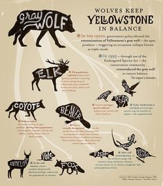 Wolves may seem like dangerous animals but they really do keep the ecosystem in Yellowstone in balance in an amazing way.