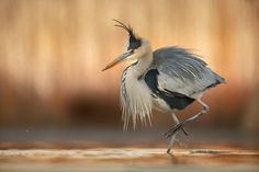 Grey Heron - null