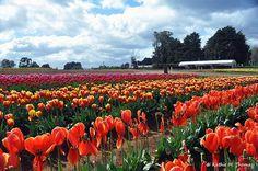 Tulips at Spring Festival in Australia from my friend @kathiemt Kathie Thomas  http://dandenong-ranges-photography.com.au/tulip-festival-4