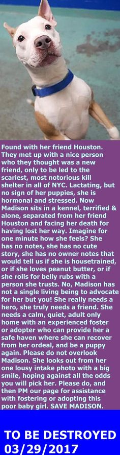 MURDERED 3-29-2017 --- Brooklyn Center  My name is MADISON. My Animal ID # is A1106966. I am a female tan and white am pit bull ter mix. The shelter thinks I am about 1 YEAR  I came in the shelter as a STRAY on 03/24/2017 from NY 10457, owner surrender reason stated was STRAY.  http://nycdogs.urgentpodr.org/madison-a1106966/