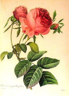 Rosa centifolia Foliacea 1979 Vintage Flowers Book Plate Print  p190