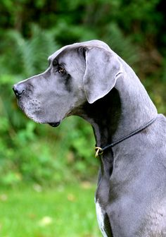 Blue Great Dane! Seriously can not wait to own one of these!! Gentle Giants <3