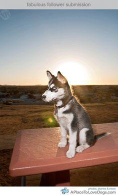 138 best siberian huskies images on pinterest in 2018 cute puppies siberian huskies and doggies - Husky occhi diversi ...