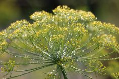 Sparkling Dill stock photo