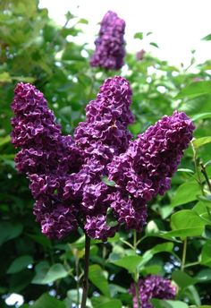 """Flieder Lila"" Lilac - One of my favorite blooms of Spring"