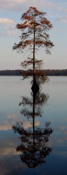 Bald cypress (Taxodium distichum) at Lake Drummond.