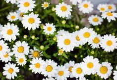 Daisies at Hotel Palacio Astoreca