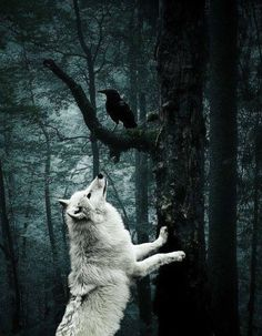 #White #Wolf #Black #Raven