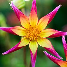 Drool-Worthy Dahlia Varieties for Every Garden and Bouquet - Sunset 'Juul's Allstar' The bush covers itself in orchid-flowering blooms that are fuchsia with a bright yellow center. Unusual Flowers, Amazing Flowers, Pretty Flowers, Purple Flowers, Orchid Flowers, Yellow Roses, Pink Roses, Lilies Flowers, Silk Flowers