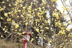 Химонант, или Химонантус (лат. Chimonanthus) — род цветковых растений, входящий в семейство Каликантовые (Calycanthaceae).