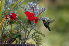 Scented geraniums are beloved by many gardeners, but did you know hummingbirds love them too? Get a list of our favorite scented geranium species for hummingbirds, along with some growing tips, on our website (Photo by Vicki Fraase)