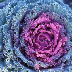 Ornamental Kale for the fall garden