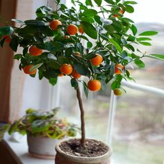 Nules Clementine Trees for Sale– FastGrowingTrees.com Grass Weeds, Winter Temperature, Fast Growing Trees, Dry Leaf, Warm Spring, Delicious Fruit, Potting Soil, Tropical Plants, Indoor Plants