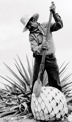 """El Jimador cutting through a mature blue Agave to get the swelled """"Piña"""" for mezcal, sotol and tequila production, with his coa de jima or simply coa. Deco Restaurant, Mexican Heritage, Agave Plant, Mexican Art, Mexican Stuff, People Of The World, Chicano, Black And White, History"""
