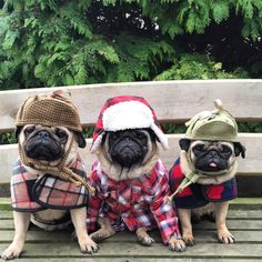 pugmatters: 'This is Pug Country'