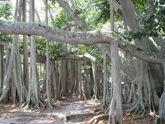 Meghan & Weston love this tree and the house....Banyan Tree at Edison Home Fort Myers, Florida