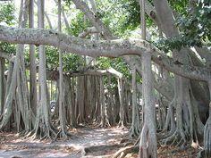 Banyan Tree at Edison Home Fort Myers,  Florida