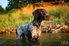 German Shorthaired Pointer photos in water