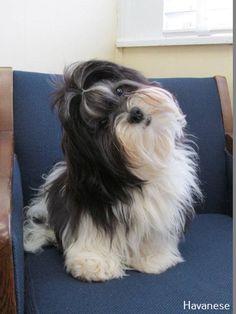 Everything we enjoy about the Cute Shih Tzu Puppy Havanese Grooming, Havanese Puppies, Havanese Haircuts, Cute Puppies, Dogs And Puppies, Cute Dogs, Grooming Dogs, Doggies, Perro Shih Tzu