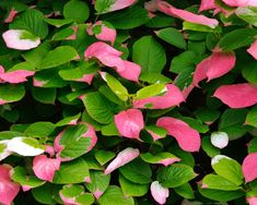 Actinidia kolomikta   Kiwi Vine   GardensOnline Small White Flowers, Colorful Flowers, Plants For Small Gardens, Kiwi Vine, Climbing Vines, Rare Plants, Plant Nursery, Green Leaves, Perennials