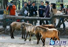 Debao or Guoxia horse . Life of Guangzhou - The World's Shortest Horse in Guangzhou Zoo. The ones kept in the zoo show primitive characteristics and colour. They are an average of 9 to 10 hh tall and the main colours are bay, roan and grey.