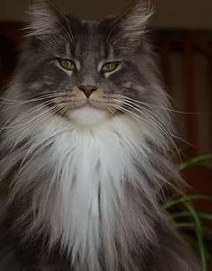 Beautiful Maine Coon - and also a little scary