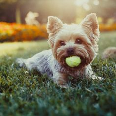 10 Hypoalergenic Dog Breeds that Don't Shed - Cute Yorkshire Terrier dog playing with tennis ball on grass Dog Breeds That Dont Shed, Best Dog Breeds, Yorkshire Terrier Dog, Best Dog Toys, Best Dogs, Terrier Dog Breeds, Fox Terrier, Pet Puppy, Dog Cat